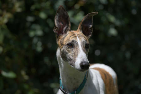 Elegantly poised, this white and brindle pet greyhound dog is alert with her ears pricked, looking away against a dark garden background. adopted pet