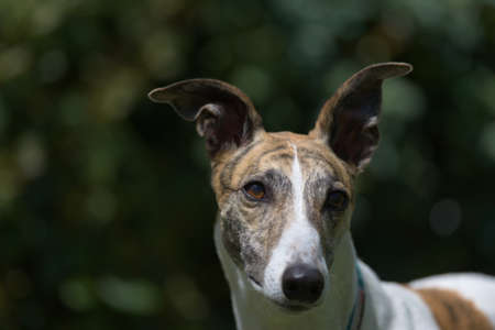 Catch light in the rich brown eyes of this white and brindle pet greyhound sparkles from sunlight. Ears at funny angles against a dark background.