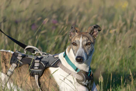 Medium upper body horizontal portrait of pet greyhound dog at sunset in a meadow. Lying down and relaxing with harness and lead on. Copy space 免版税图像