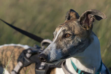 Gentle golden light hits the face of this brindle and white pet greyhound as she looks away into copy space. Harness and lead, catch light in the eyes