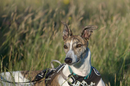 Long meadow grass background provides copy space behind an alert pet greyhound dog with ears pricked. Relaxing with harness on during golden hour. Фото со стока
