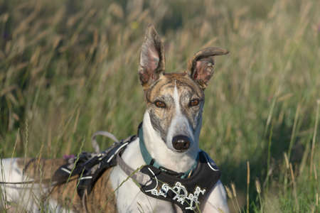 Striking face on medium portrait of pet greyhound dog staring at the camera. Big ears stand up in the warm sunset light. Natural grassy background.
