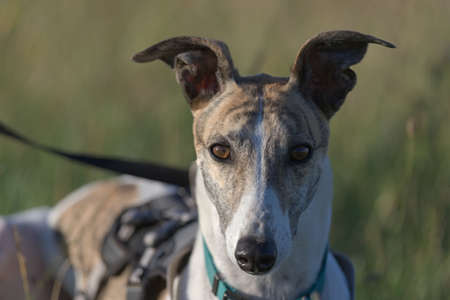 Symmetry and two tone color makes this portrait of a greyhound staring directly at the camera visually striking. Golden hour light makes shadows blue