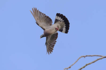 Plain blue sky background behind a flying wild wood pigeon. Wings and tail feathers are all fully spread and feet are tucked, showing patterning.
