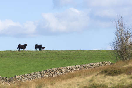 Mother, father and calf cows form an affectionate family scene on the horizon of a countryside field. Summers day, warm sunlight and adjacent meadow