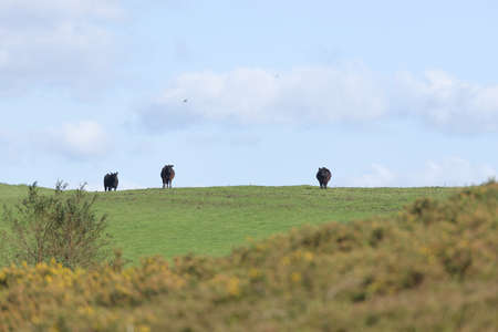 Dark black cattle stand out against the bright blue sky on a sunny summers day. Selective focus blurs the overgrown foreground and highlights the cows