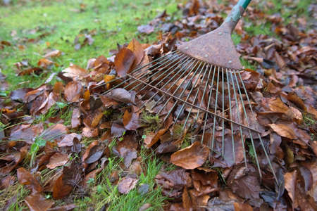 Debris and undergrowth is removed from a healthy green garden lawn using a rake. Moss and brown autumn leaves make up the most of the plant waste