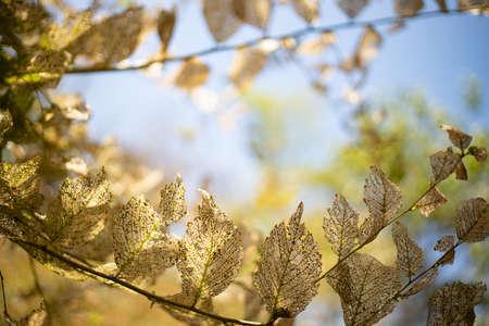 Frame of dried skeleton leaves on brunch on sky background. Tender structure. Stock fotó - 155450561