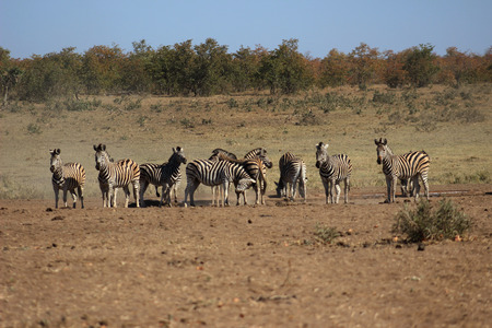 the water hole: Plains zebra herd drinkink water from a water hole in krugernational park Stock Photo