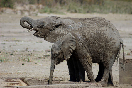 Elephant calves covered in mud drinking water at water pit in krugernational park