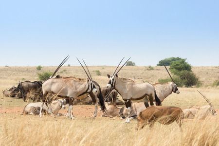 Gemsbok herd( Oryx Gazella) in the savanna Stock Photo
