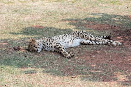 acinonyx: Cheetah (Acinonyx jubatus) resting in the shade Stock Photo
