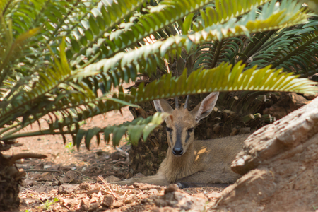 cycad: Common duiker (Sylvicapra grimmia) resting in the shade of a cycad tree