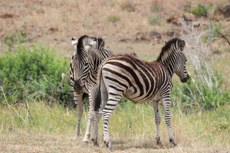 plains: Plains zebra in pilanesberg national park