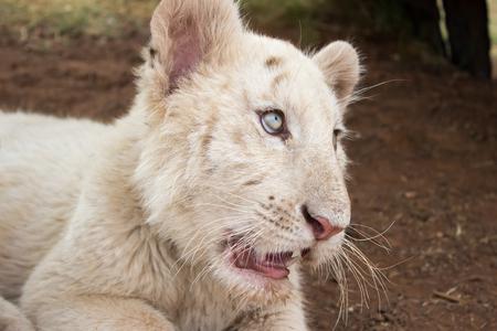 tigre cachorro: White bengal tiger cub