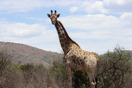 giraffe standing tall over Stock Photo