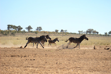 Plains zebra running to catch up whith the rest of the herd Stock Photo