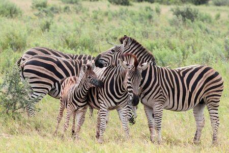 Plains zebra (Equus quagga) herd in Kruger national park