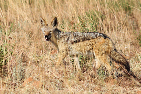 scavenger: Black-backed jackal in pilanesberg nature reserve