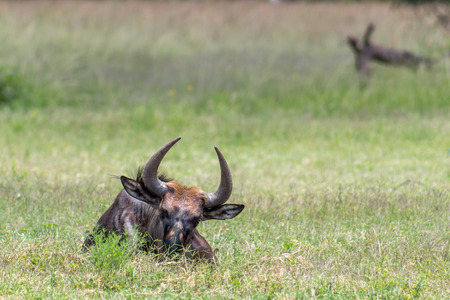 Blue wildebeest (Connochaetes taurinus) lying down on the savannah grass