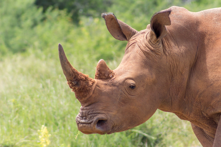 Closeup of white rhinoceros in Marakele national park. Stock Photo