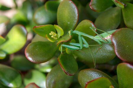 jade plant: Mantis (Mantodea) on the leaves of an Jade plant (Crassula ovata)