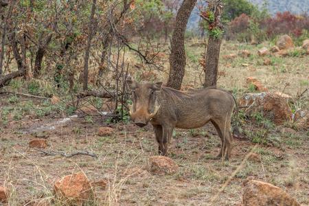 Common warthog ( Phacochoerus africanus ) at Pilanesberg National park