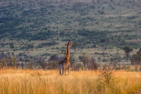 Giraffe standing in the long grass looking into the distance