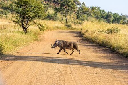 Common Warthog running accros a dirt road Foto de archivo - 132049300