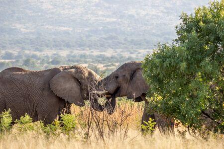 African Elephant in Pilanesberg National Park 版權商用圖片