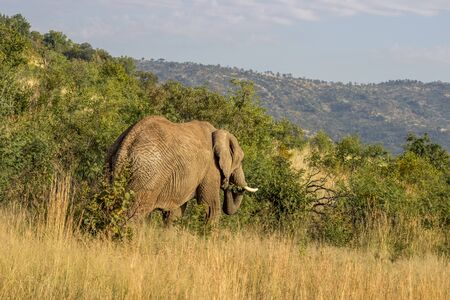 African Elephant in Pilanesberg National Park eating a tree branch
