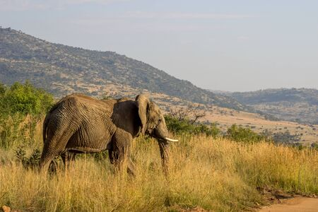 African Elephant in Pilanesberg National Park walking in th long grass