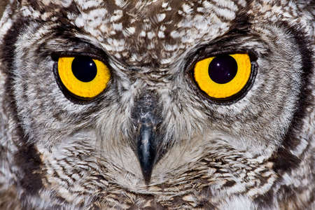 African Spotted Eagle Owl with large piercing yellow eyes in macro portrait photo