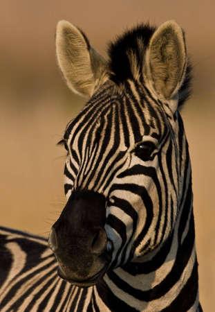 Burchells Zebra suchen in Kamera auf Aufmerksamkeit Standard-Bild - 3614377
