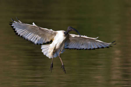 gauteng: African Sacred Ibis landing with outstretched wings in water Stock Photo