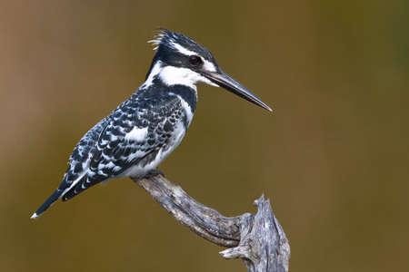 srokaty: Pied Kingfisher na pirtch o gładkich zielony