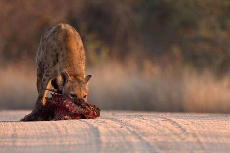 carcass: Gevlekte Hyena in het vuil weg met gedaald Bosbok karkas