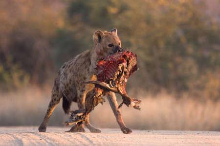 karkas: Gevlekte Hyena in onverharde weg met decoratieve Bosbok karkas