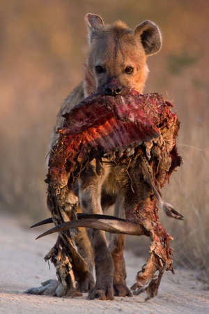 Spotted Hyena in dirt road with dropped bushbuck carcass from the front photo