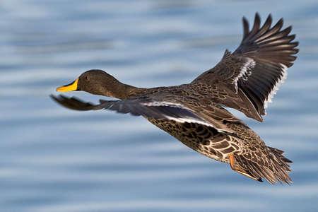 Yellow billed Duck Flüge über Wasser mit Fokus auf das Auge Standard-Bild - 3614367