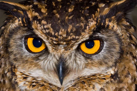 Close-up of a Cape Eagle Owl with large piercing yellow eyes photo