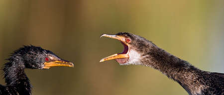 White breasted cormorant having a fight photo