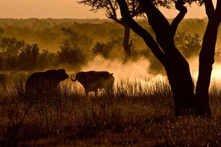 herbivores: Tussel between two buffalo in the african savanna