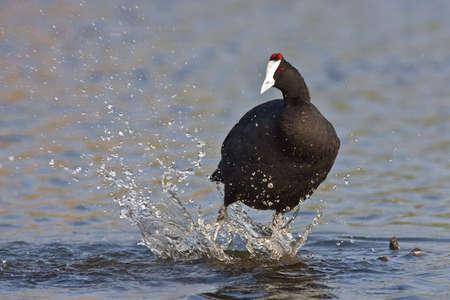 moorhen: Common Moorhen splashing in water