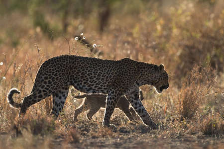 Leopard mother and cub during afternoon stroll through the african bush
