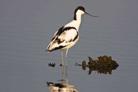 gauteng: Pied Avocet standing in shallow water at Marivale catchment area