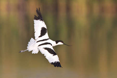 pied: Pied Avocet in flight over shallow water with out of focus background Stock Photo