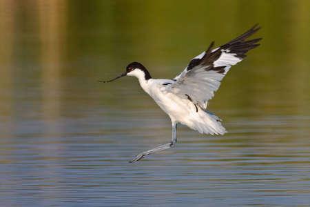 srokaty: Pied Avocet w locie szykując się do lądowania w płytkiej wodzie