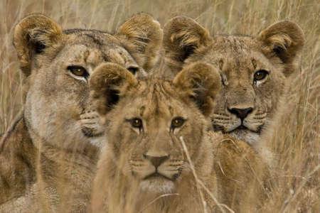 Familie der afrikanischen Löwen suchen sehr wachsam Standard-Bild - 3793129