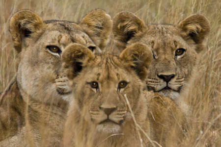 africa safari: Family of African Lions looking very alert